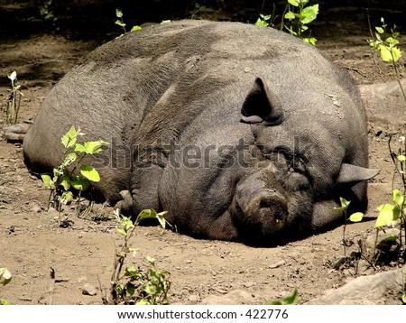 Lazy pig - stock photo