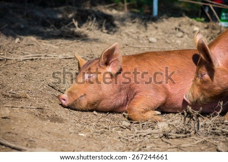 lazy pig sleeping in farm outdoor - stock photo