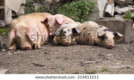 lazy pigs - stock photo