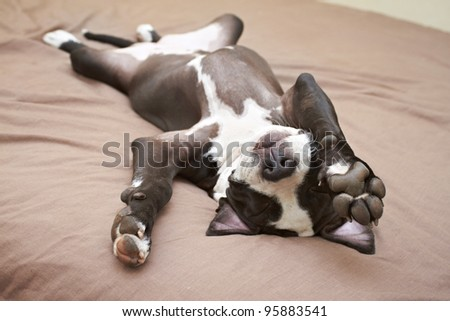 Lazy Pit Bull puppy laying with back on soft bed - stock photo