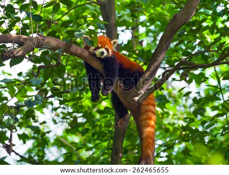 Lazy red panda bear in tree - stock photo