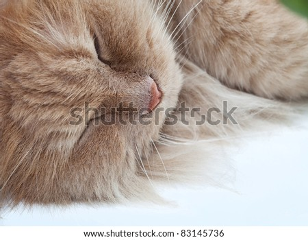 Lazy sleeping persian cat with peach fur - stock photo