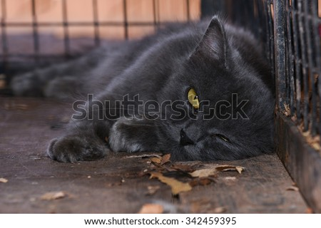 Lazy / Sleepy Black cat staring with golden yellow eyes. Cat in the cage with rage and sadness in eyes.. Captive cat. Cruelty against animals. Symbol of bad luck, good fortune, evil omens, ghosts - stock photo