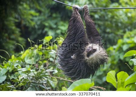 Lazy Sloth in Panama - stock photo