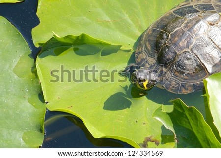Lazy snapping turtle - also called snapper - sitting on water lily leaves - stock photo