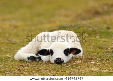 lazy white lamb laying on grass neat the farm - stock photo