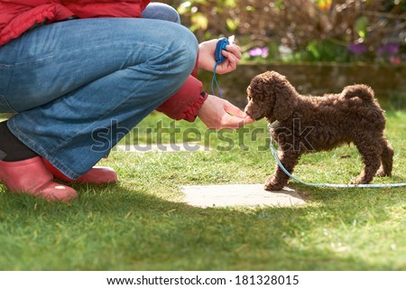 Lead and clicker training for a miniature poodle puppy in the garden. - stock photo