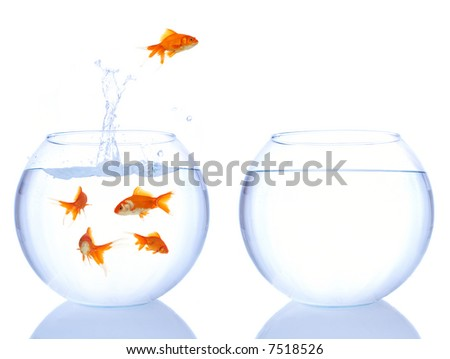 leader goldfish - stock photo
