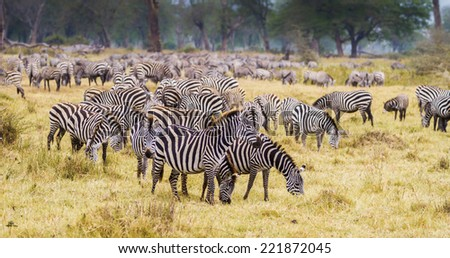 Leader of a herd of zebras - stock photo