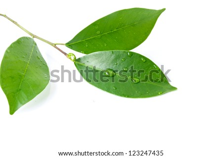 Leaf and water drop on the white background - stock photo