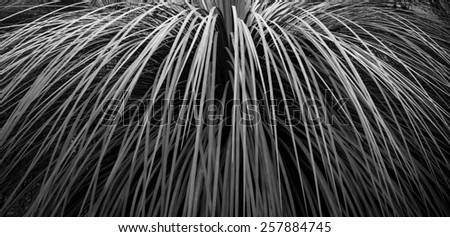 Leaf background in banner format of grass tree in Australia in black and white - stock photo