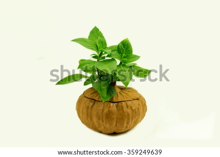 Leaf basil on white background, The fresh vegetable of herb.