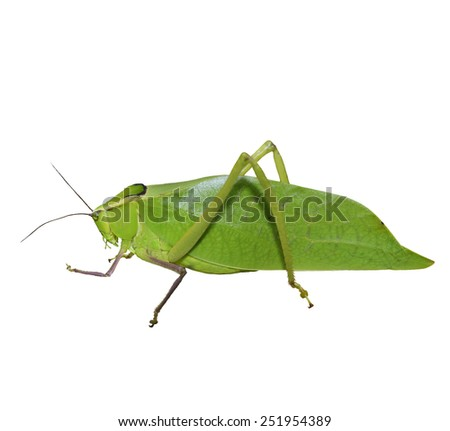 Leaf Bug Isolated On White Background - stock photo