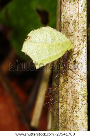 Leaf Cutter Ant - stock photo