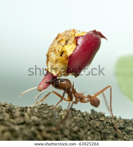 Leaf-cutter ant, Acromyrmex octospinosus, carrying eaten apple - stock photo
