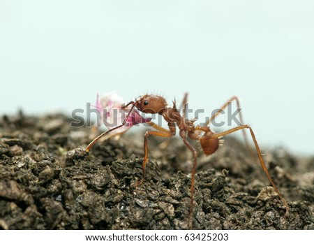 Leaf-cutter ant, Acromyrmex octospinosus, carrying flower petal in front of blue background - stock photo