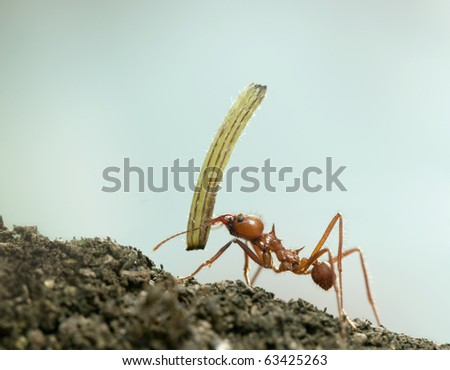 Leaf-cutter ant, Acromyrmex octospinosus, carrying plant in front of blue background - stock photo