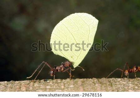 Leaf Cutter Ant (Atta sp.) in Ecuador - stock photo
