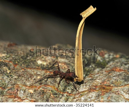 leaf cutter ant carrying piece of leaf, costa rica 3