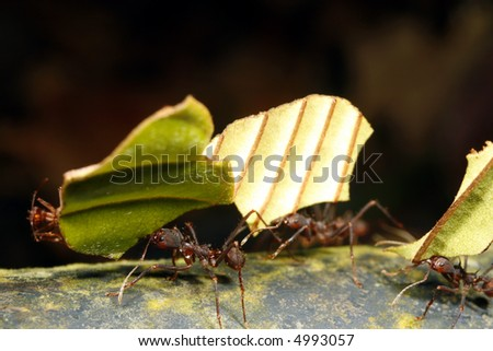 Leaf cutter ants - stock photo