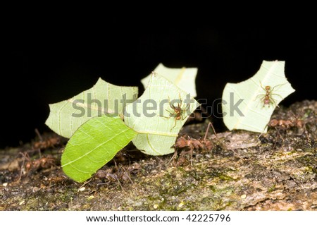 Leaf cutter ants (Atta sp.) - stock photo