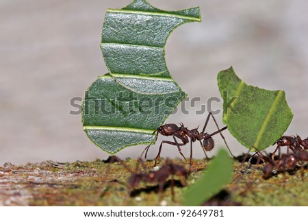 Leaf-cutter Ants (Atta sp.) carrying leaves in Peruvian Amazon - stock photo