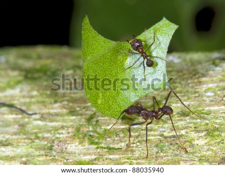 Leaf cutter ants (Atta sp.) There are small workers termed minims riding on the leaf. These defend it from parasitic flies. - stock photo
