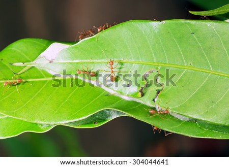 Leaf cutter ants building new nest and manipulating Mango tree leaves to make nest.