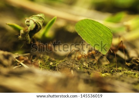 Leaf cutter ants gathering food to feed their colony. - stock photo