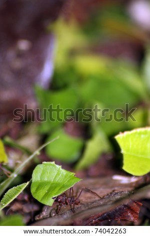 Leaf cutter ants on the forest floor Equador - stock photo