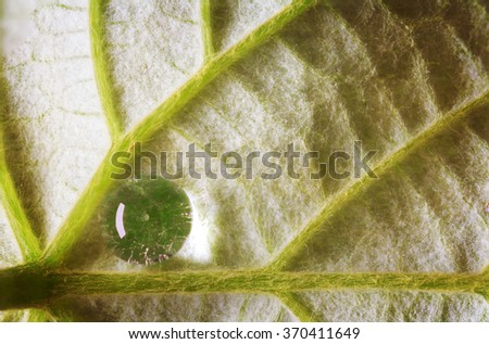 leaf detail showing the underside with fine hair veins and a water dew droplet. - stock photo