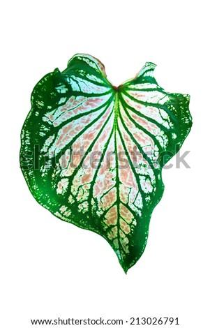 leaf Dieffenbachia isolated on white background - stock photo