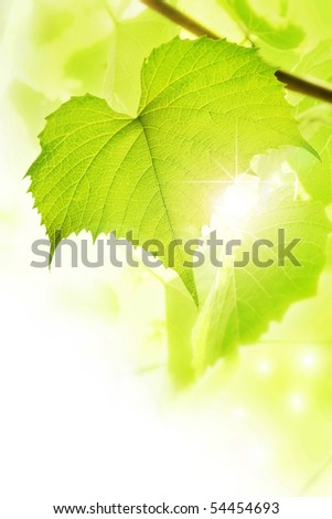 Leaf grape vines - stock photo