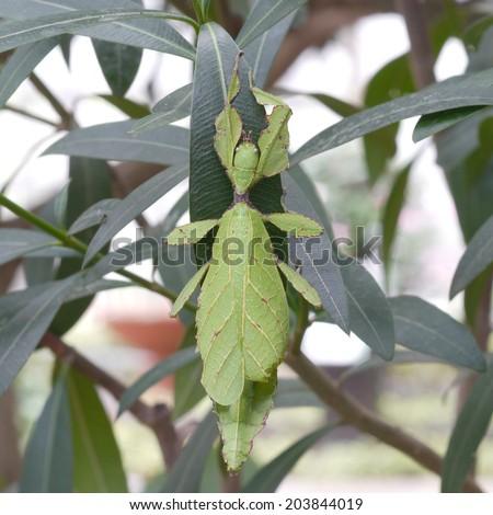 leaf Grasshopper - stock photo