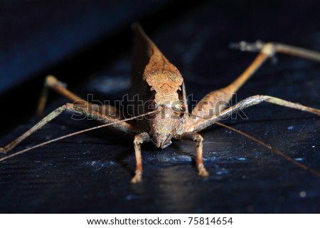 leaf Grasshopper  front view. - stock photo