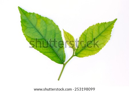 leaf green on white background