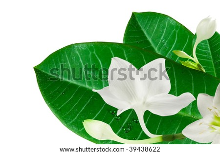 Leaf green with drops and white  flowers lily closeup on wash away background - stock photo