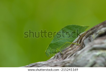 Leaf Insect - stock photo