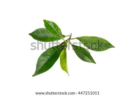 Leaf ,isolated on white background