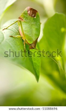 leaf katydid - stock photo
