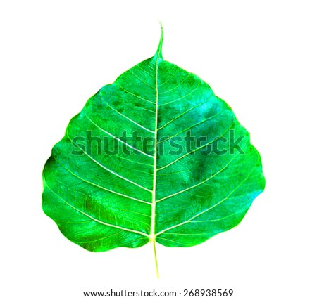 Leaf Leaf The leaves of the tree with a very large heart-shaped leaves with pointed leaves are very similar shade. Tim Pool on Religion - stock photo