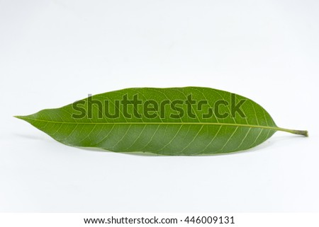 Leaf mango isolated on white background object is green and fresh horizontal