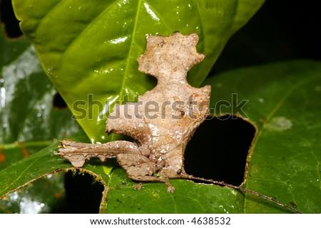Leaf mimic katydid - stock photo