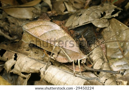 Leaf mimic katydid camouflaged among dead leaves in the Ecuadorian Amazon - stock photo