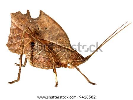 Leaf mimic katydid from the Amazon - stock photo