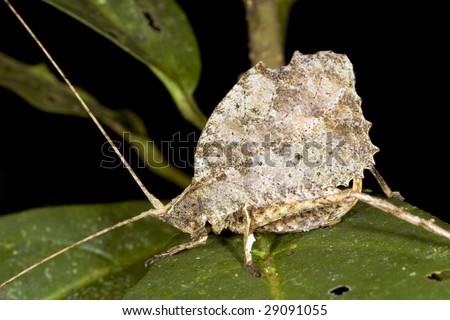 Leaf mimic katydid from the Ecuadorian Amazon - stock photo