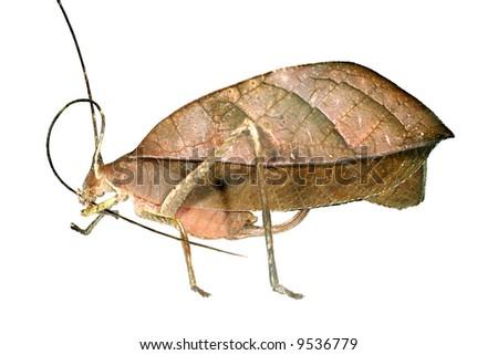 Leaf mimic katydid grooming antenna - stock photo