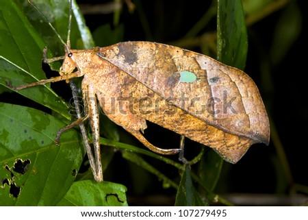 Leaf Mimic Katydid in rainforest, Ecuador - stock photo