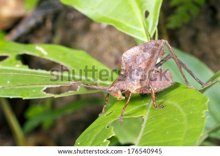 Leaf mimic katydid in the rainforest understory, Ecuador