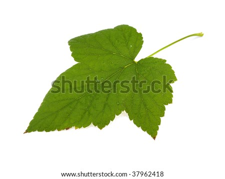 Leaf of a black currant isolated on a white background - stock photo